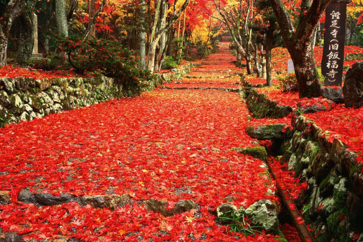 まるでどこまでも続く赤い絨毯!鶏足寺の紅葉が綺麗すぎると話題